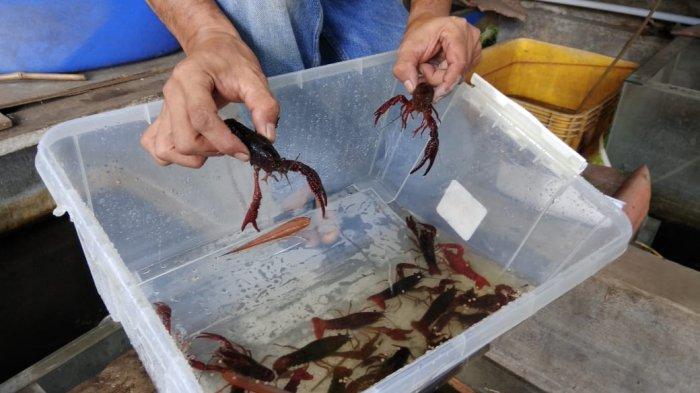 Mengintip Suksesnya Petani Lobster Air Tawar di Bogor, Sempat Gagal Tapi Tak Menyerah