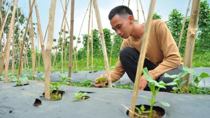 Bertani Sayuran, Petani Milenial di Bogor Berbagi Tips Menanam Bonteng Acar