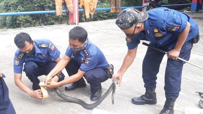 Ular Kobra Masuk ke Dapur Rumah Warga Kota Bogor, Petugas Damkar Bantu Evakuasi