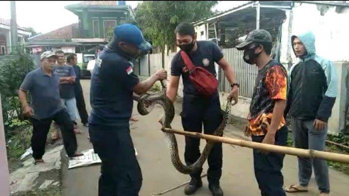 Petugas pemadam kebakaran Kota Bogor mengevakuasi ular sanca batik berukuran 3,5 meter di kandang ayam pekarangan warga di Kampung Situ Pete Sukadamai, Kelurahan Sukadamai, Kecamatan Tanahsareal, Kota Bogor, Selasa (24/11/2020).