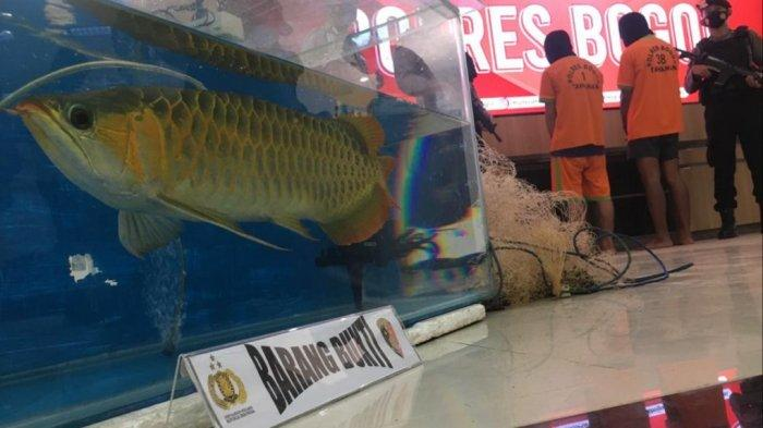 Begini Kasus Pencurian Ikan Arwana Milik Rekan Presenter Irfan Hakim di Bogor, Kerugian Rp 24 Miliar