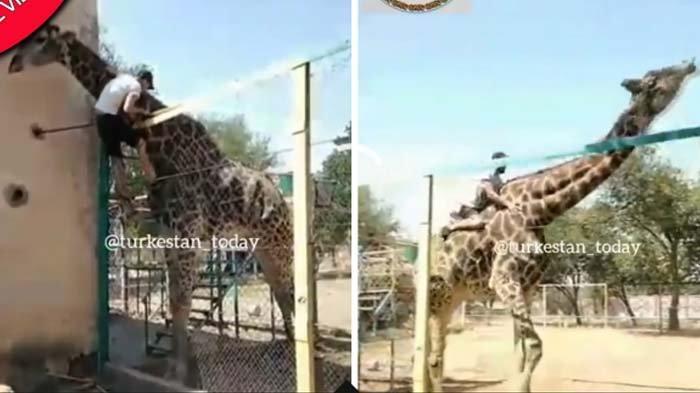 Viral Demi Tunggangi Jerapah Nekat Panjat Pagar Kebun Binatang, Pria Ini Malah 'Dilempar' Si Hewan