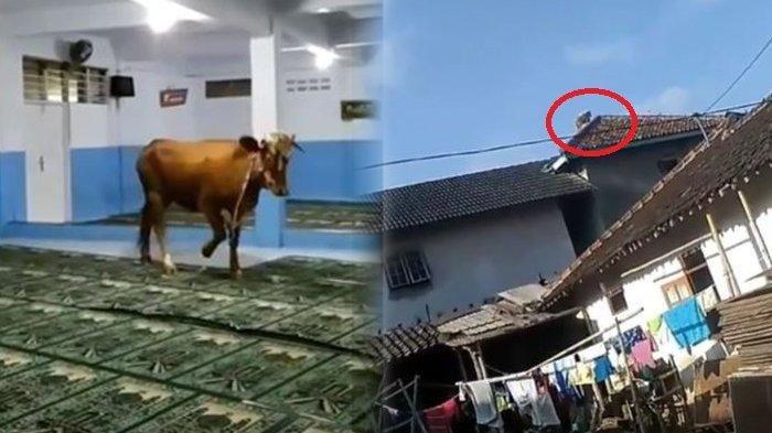 Viral Sapi Kurban Kabur Saat Disembelih Pada Idul Adha 2019 - Masuk Masjid Sampai Naik ke Atap