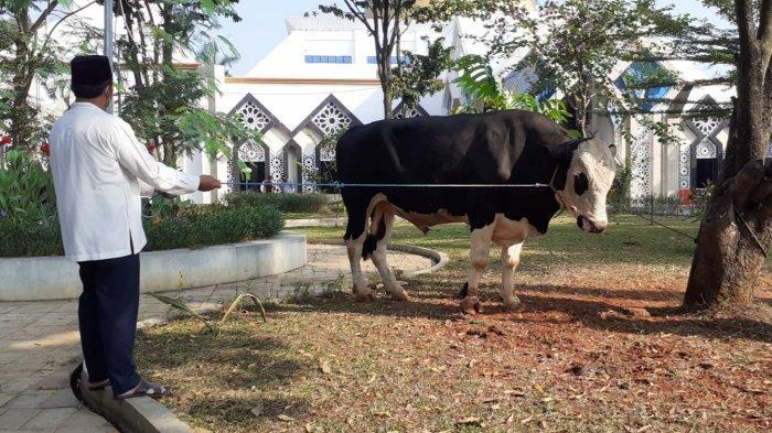 DKM Baitul Faidzin Terima Kurban Dua Ekor Sapi Limosin 1 Ton dari Bupati Bogor