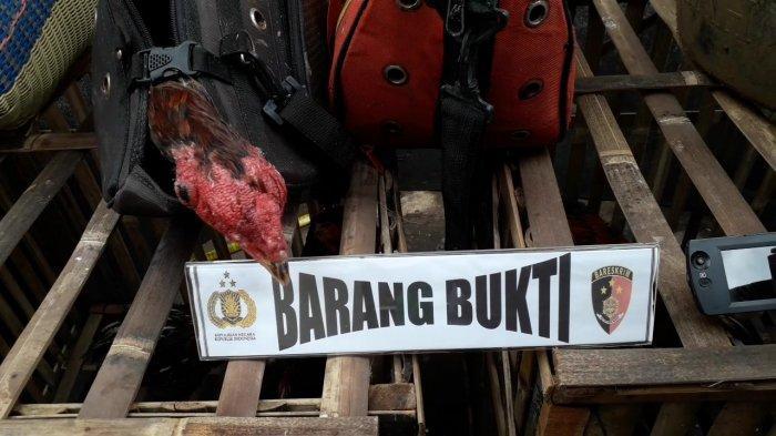Satreskrim Polres Bogor mengamankan barang bukti judi sabung ayam di Kampung Gintung, Kecamatan Tenjolaya, Kabupaten Bogor.