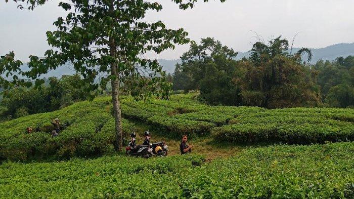 Rute Menuju Kebun Teh Cianten Bogor, Nikmati Pemandangan Sejuk dan Hijau