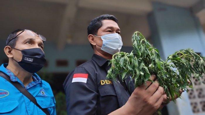 Sering Dicuri saat Tanam di Ladang, Adik Mantan Wali Kota Serang Budidaya Ganja di Polybag