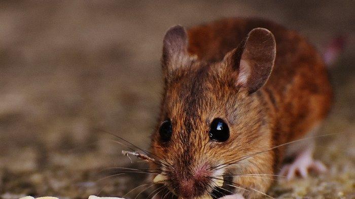 Cara Membersihkan Rumah dari Tikus, Pakai 6 Tips Ini Dijamin Langsung Kabur