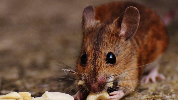 Tanpa Perangkap, Ini Cara Membersihkan Rumah dari Tikus, Cukup Pakai Ini Dijamin Langsung Kabur