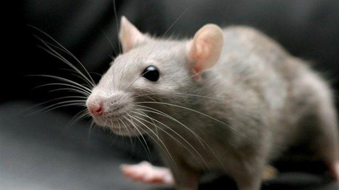 Tak Perlu Pakai Jebakan, Ini Cara Membersihkan Rumah dari Tikus, Cukup Pakai Langsung Kabur