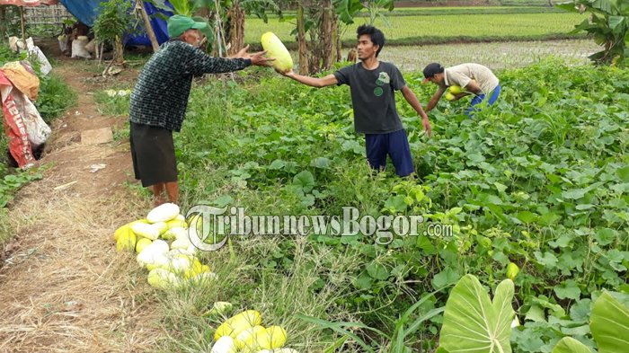 Bulan Puasa, Petani Timun Suri Kebanjiran Orderan, Sehari Bisa Terjual Hingga 200 Buah