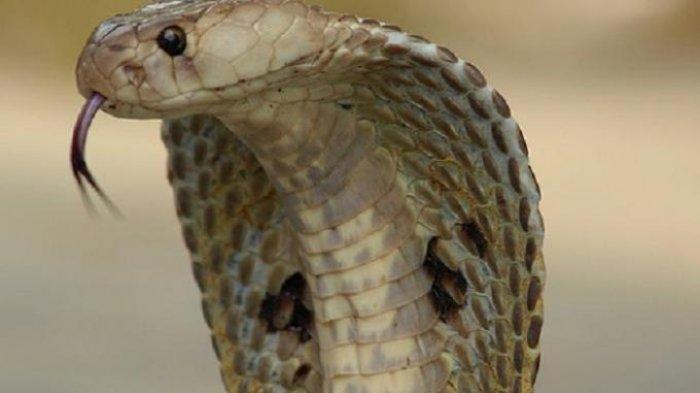 Arti dan Tafsir Mimpi Melihat Ular Kobra Besar, Waspada Bisa Jadi Tanda Datangnya Penggoda