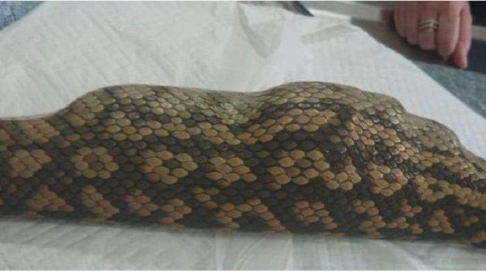 Telan Boneka Sapi, Ular Piton Sepanjang 2 Meter Harus Dioperasi