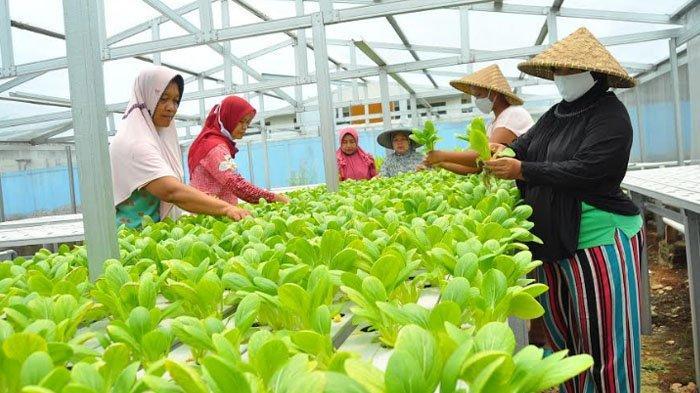Melirik Potensi Urban Farming di Kampung Bebek, Sayuran Segar Jadi Favorit Warga Sebagai Lalaban