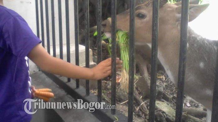 Melihat Rusa di Sekitaran Istana Bogor, Warga Senang Bisa Kasih Makan Langsung