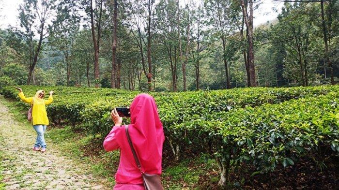Gunung Mas Tea Hills di Jalan Raya Puncak, Cisarua, Kabupaten Bogor,