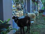 12-hewan-kurban-yang-dititipan-di-masjid-raya-al-miraj-atau-masjid-raya-kota-bogor.jpg