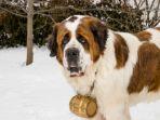 anjing-st-bernard_20170412_114944.jpg