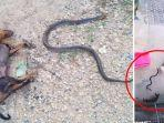 anjing-yang-mati-terkena-gigitan-ular-kobra-ketika-melindungi-bayi.jpg