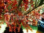 cara-tanam-pohon-kurma-pakai-biji-buah-kurma_20160614_112724.jpg