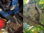 evakuasi-sarang-tawon-di-desa-situ-ilir-cibungbulang-kabupaten-bogor.jpg
