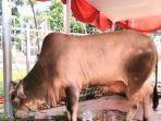 hewan-kurban-berupa-sapi-milik-presiden-joko-widodo1.jpg