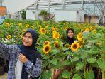 kebun-bunga-matahari.jpg