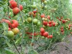 kebun-tomat_20151118_120236.jpg