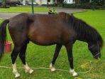 kuda-jenis-sandalwood_20180312_171341.jpg