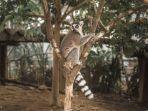 lemur-ekor-cincin-di-royal-safari-garden.jpg