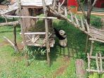panda-di-taman-safari.jpg
