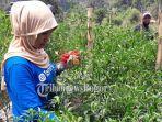 petani-saat-memanen-cabai-merah-di-desa-karacak-kecamatan-leuwiliang-kabupaten-bogor.jpg