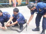 petugas-damkar-evakuasi-kobra.jpg