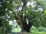 pohon-tua-di-kebun-raya_20151121_115341.jpg