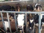 sapi-di-erif-dairy-farm.jpg