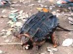 seekor-kura-kura-aneh-ditemukan-seorang-warga-bernama-amir-hamzah-40_20180527_191842.jpg