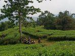 suasana-di-perkebunan-teh-cianten-desa-purasari-kecamatan-leuwiliang-kabupaten-bogor.jpg