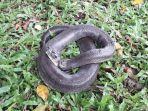 ular-karung-yang-tertangkap-jaring-warga-saat-sedang-mencari-ikan-di-danau.jpg
