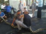 ular-piton-besar2.jpg