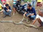 ular-sanca_20160321_144342.jpg