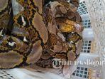 ular-sanca_20171010_164922.jpg