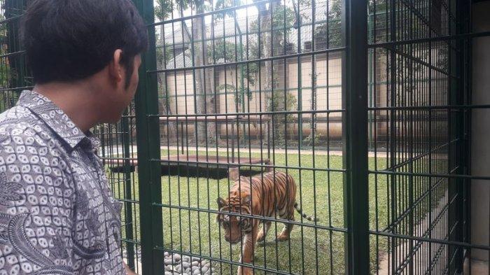 Harga Harimau Milik Alshad Ahmad Sepupu Raffi Ahmad Ini Setara Pajero, Sehari Makan 6 Kg Daging