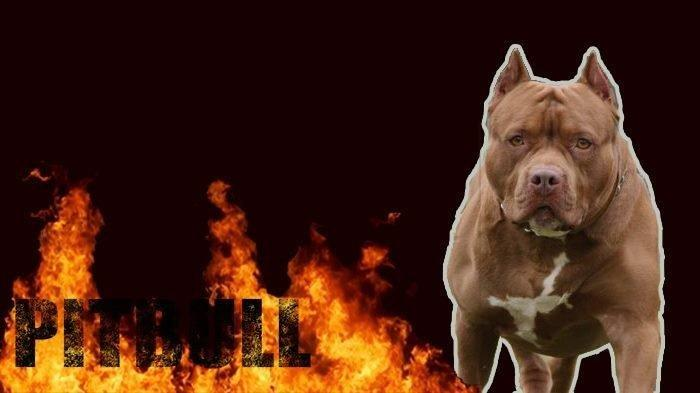 Melindungi Rumah Tuan, Bobby Si Anjing Pitbull Mati Setelah Bertempur Hebat dengan Ular Kobra