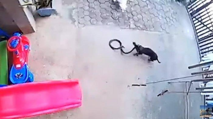 VIDEO VIRAL! 2 Anjing Duel Hidup Mati Lawan Ular Kobra Demi Lindungi Bayi Sang Majikan