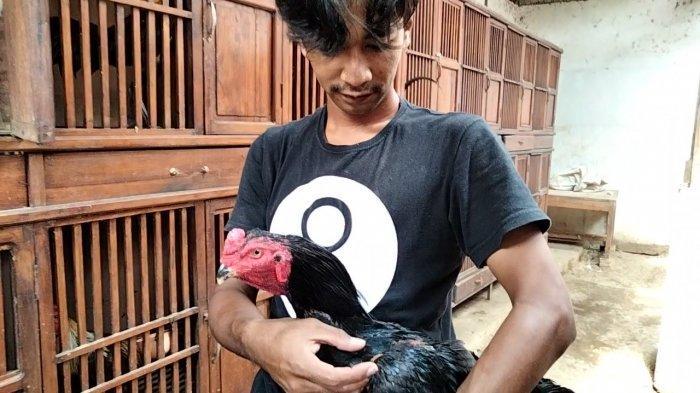 Ayam Laga di Kuningan Ini Ditawar Harga Rp 130 Juta, Pemilik Tak Lepas Pilih Membudidayakan