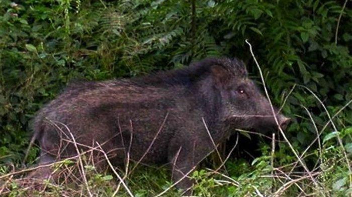 GEGER, Ular Piton, Babi Hutan dan Monyet Masuk Perkampungan di Kabupaten Bandung, Diduga Kelaparan