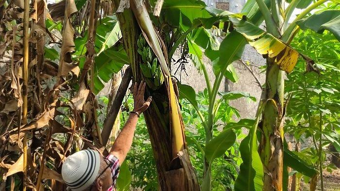 Buah pisang tumbuh di tengah batang pohonnya membuat heboh warga di Desa/Kecamatan Kadipaten, Kabupaten Majalengka, Rabu (9/6/2021).