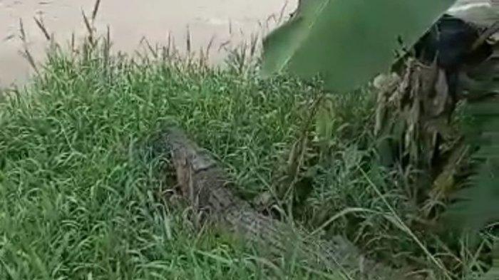 Pencari Rumput Dimangsa Buaya, Sisa Tubuhnya Ditemukan Warga Mengambang di Pinggir Sungai