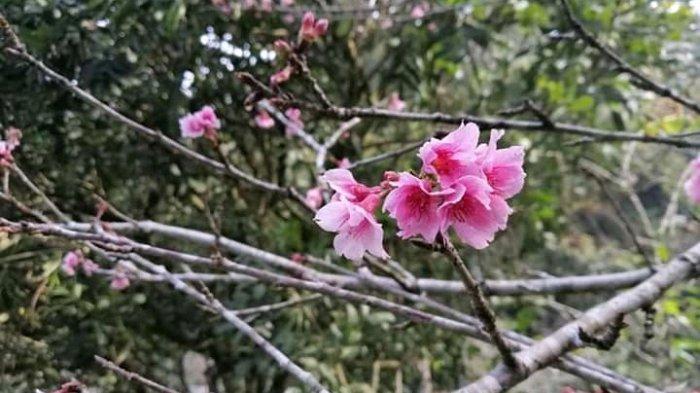Bunga Sakura Tengah Mekar Bulan Ini, Saat Tepat Berwisata Ke Kebun Raya Cibodas Cianjur