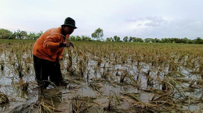 Padi Rusak Akibat Banjir, Petani di Indramayu Hanya Bisa Pasrah, Padahal Sebentar Lagi Panen